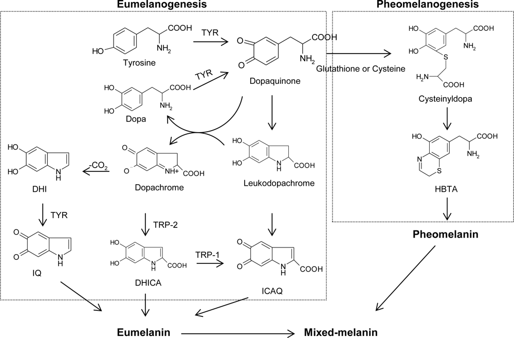 IJMS | Free Full-Text | An Updated Review of Tyrosinase Inhibitors