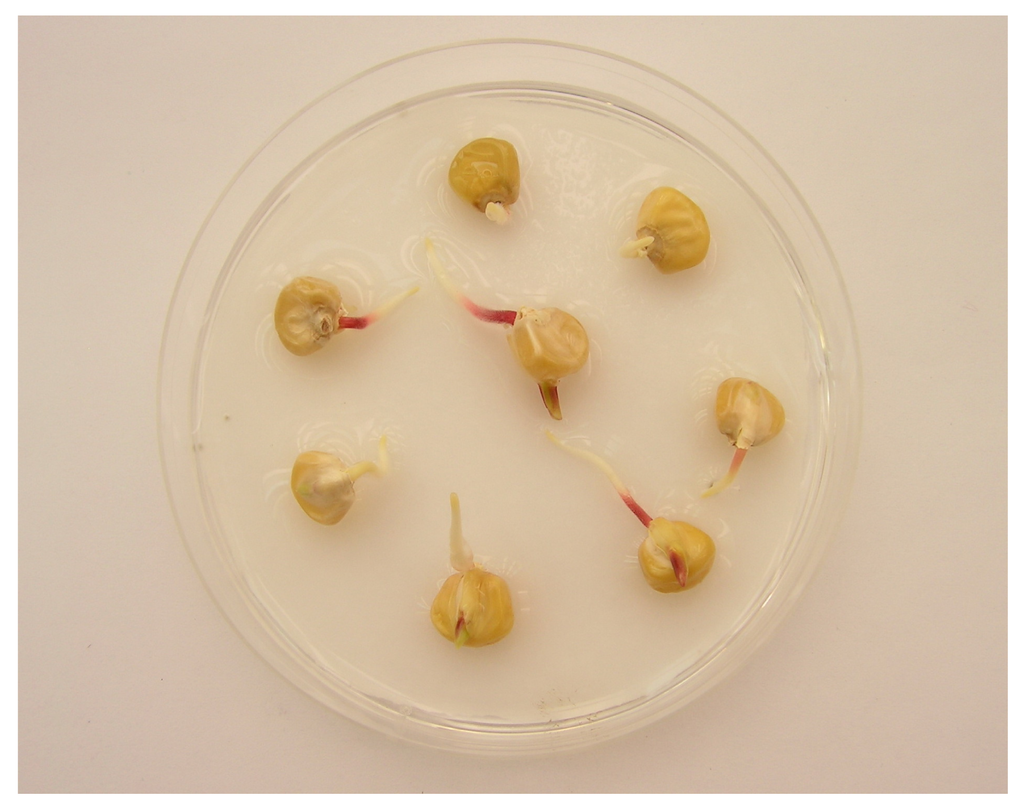 corn seed germination lab report