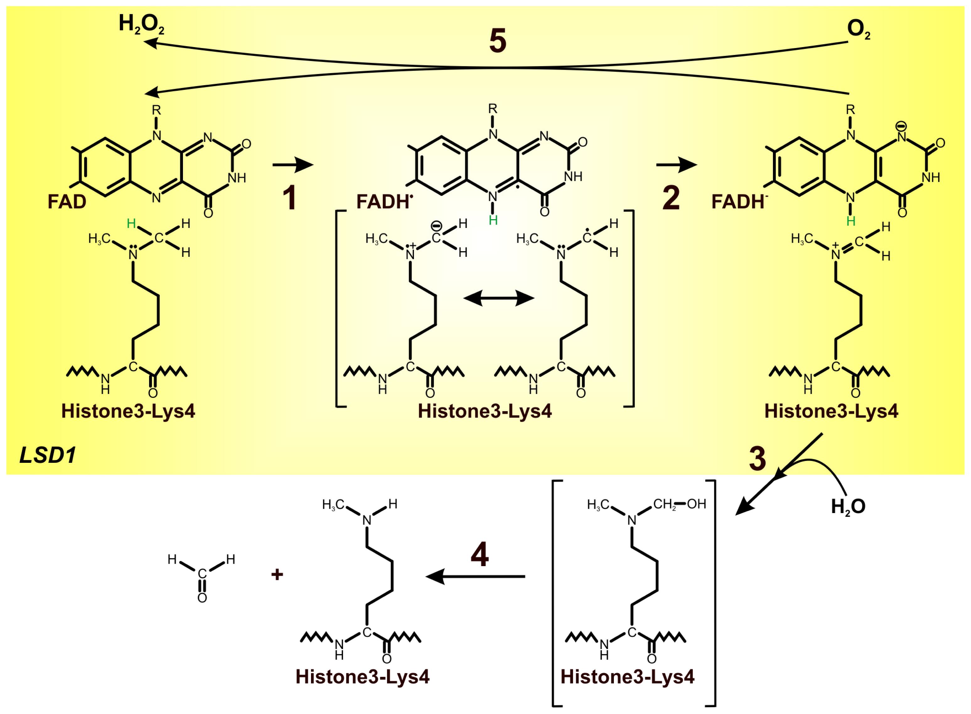 Uracil And Adenine