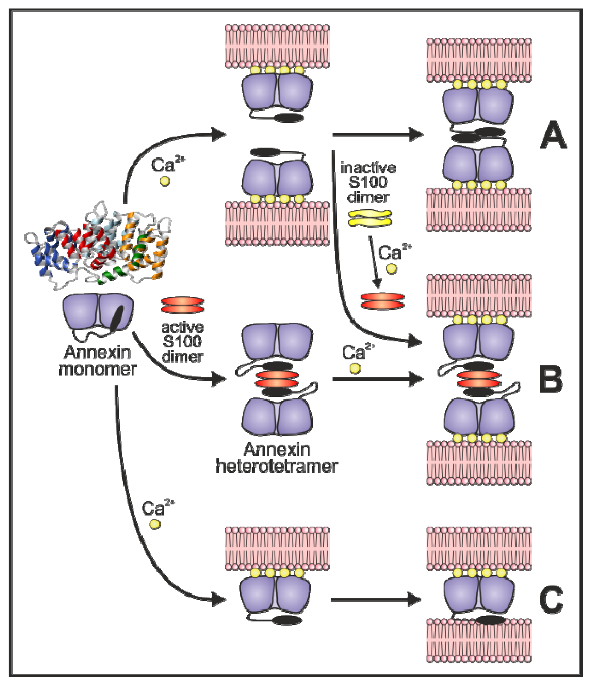 Annexin-Phospholipid Interactions