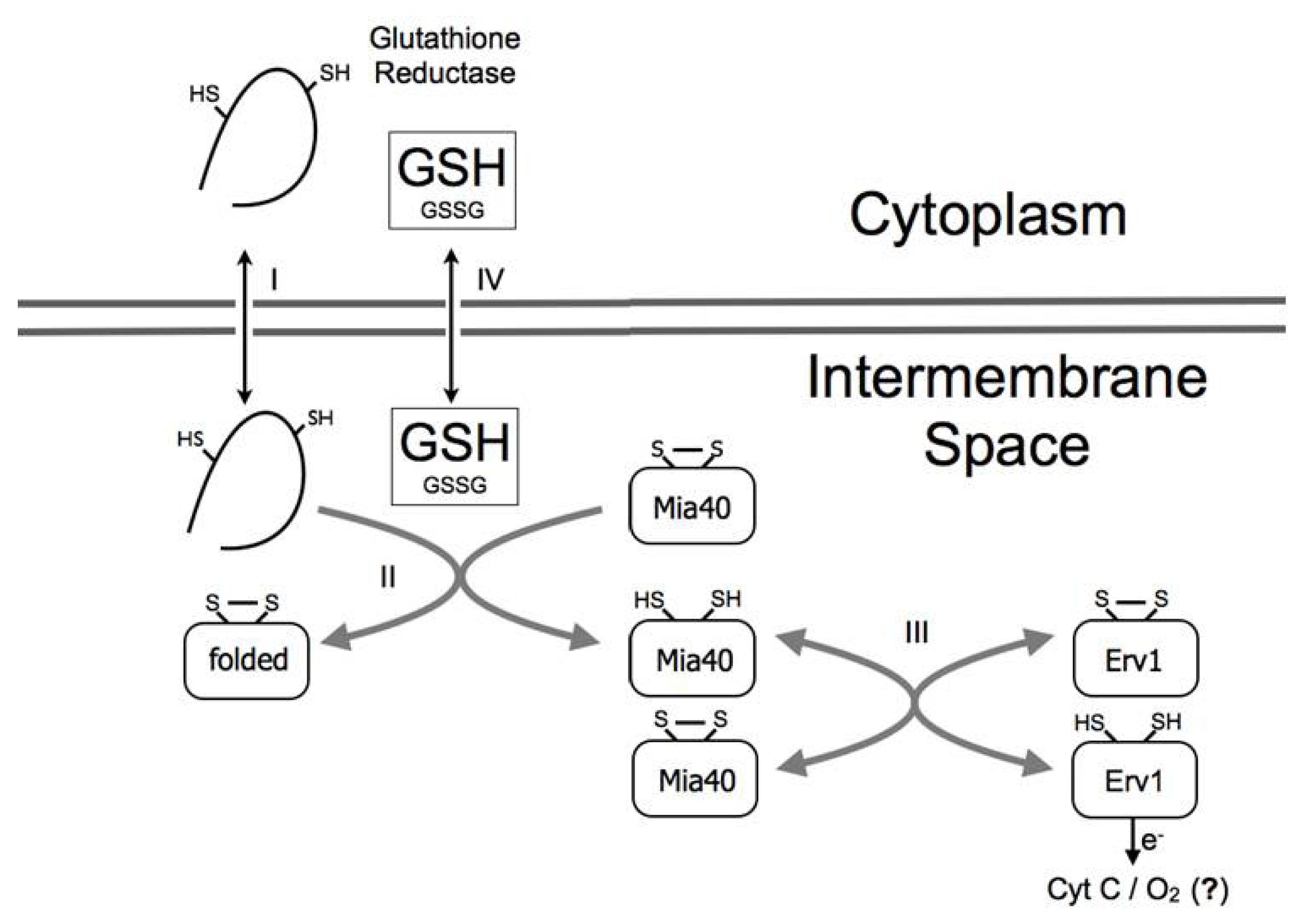 Glutathione reductase  Wikipedia
