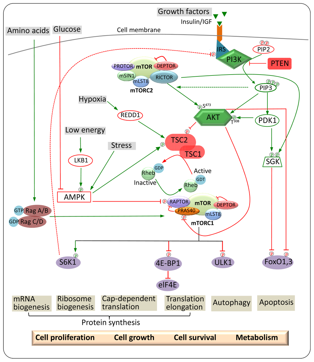 IJMS   Free Full-Text   Chemical Inhibitors and microRNAs ...