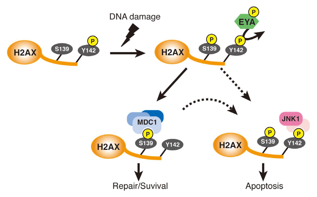 Ijms free full text atypical protein phosphatases emerging