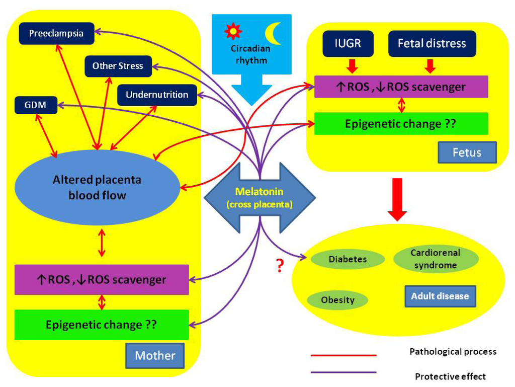 IJMS | Free Full-Text | Roles of Melatonin in Fetal ...