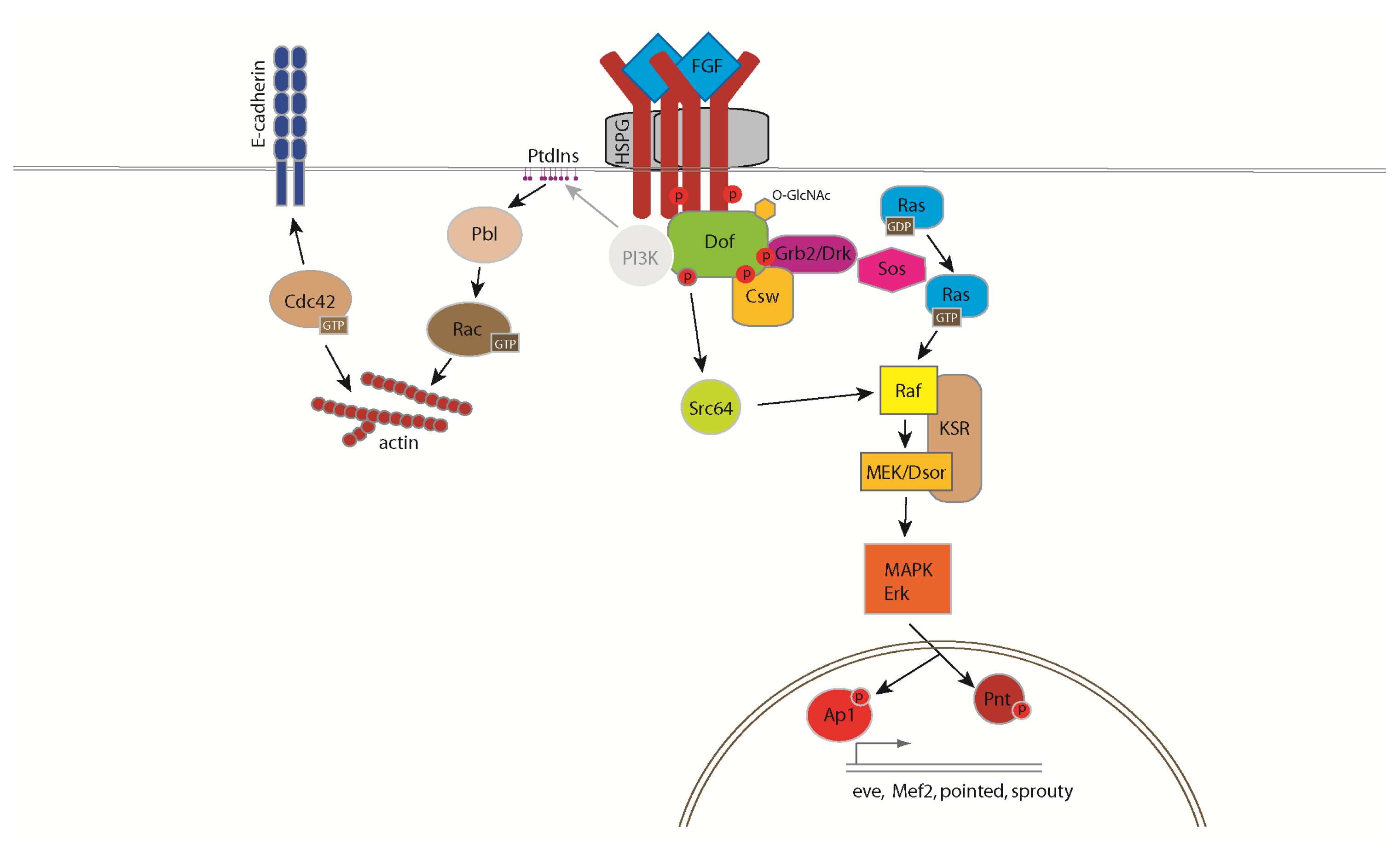 IJMS | Free Full-Text | Functions and Mechanisms of Fibroblast Growth ...