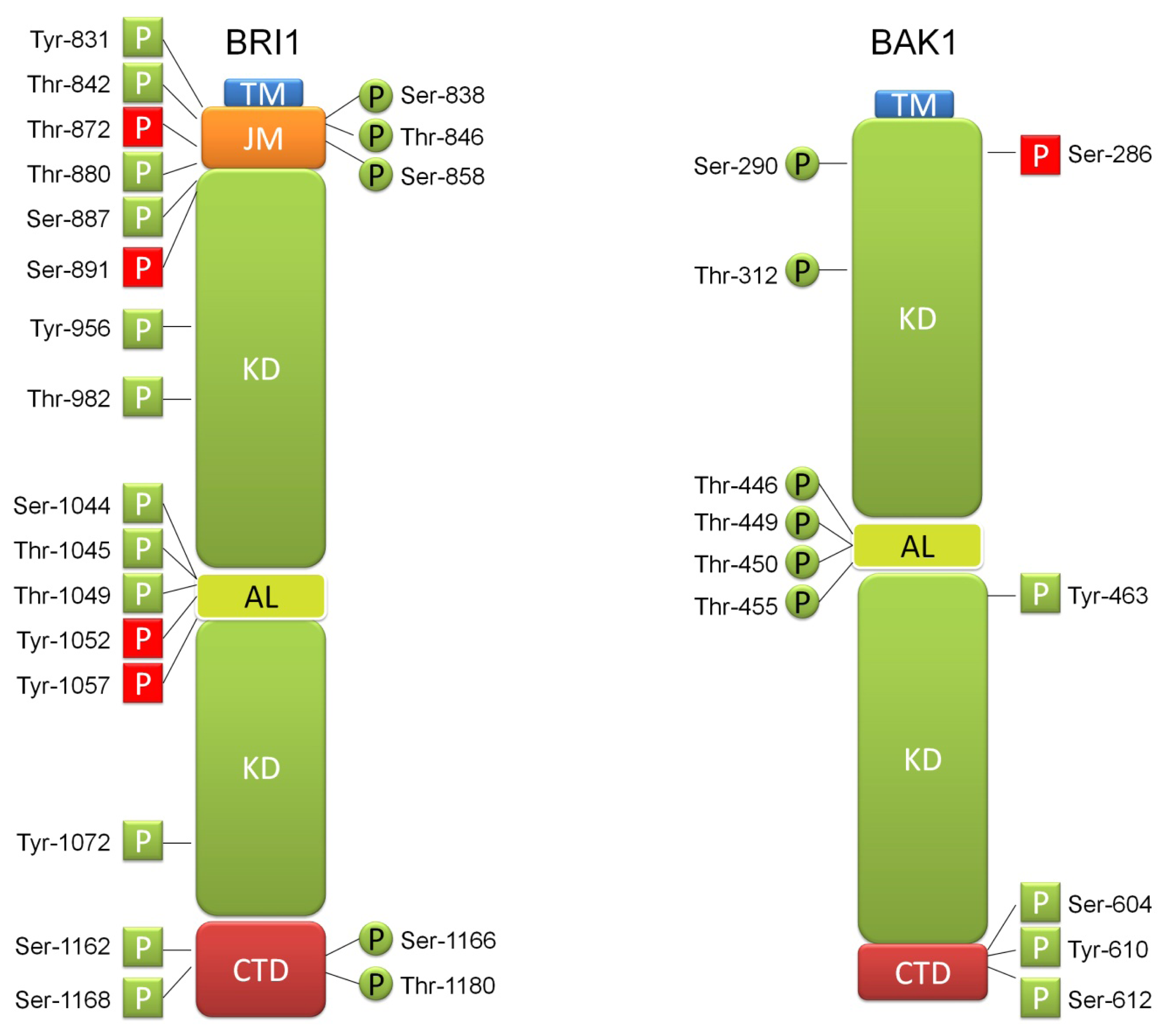 brassinosteroid functions in arabidopsis seed development