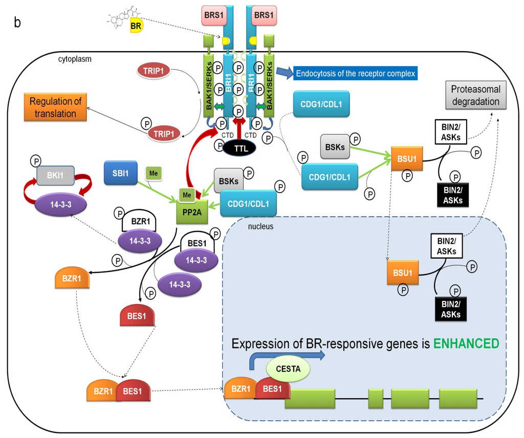 brassinosteroid signaling and application in rice