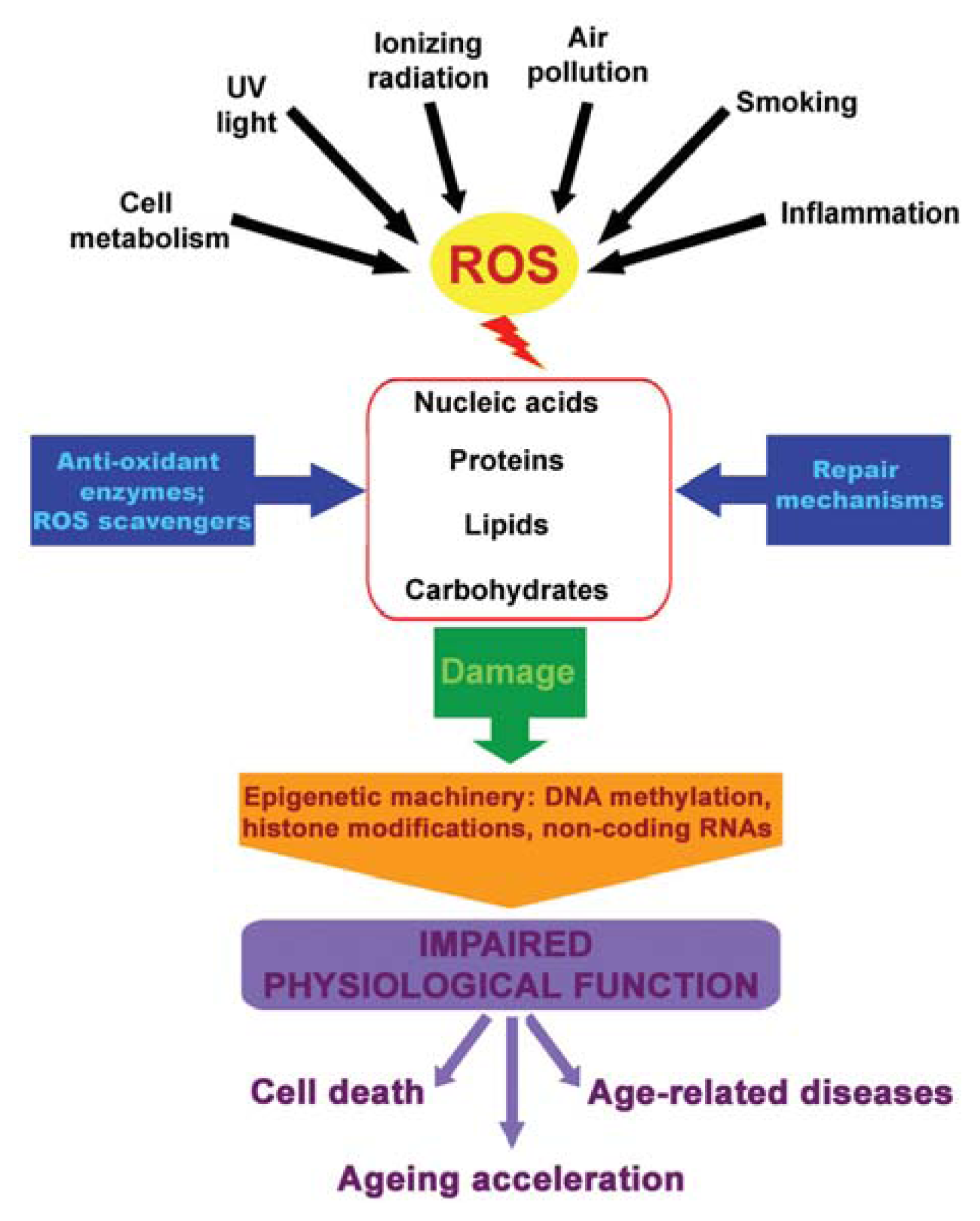 oxidative stress in cardiac surgery essay In cardiac surgery patients and the critically ill oxidative stress is associated with poorer outcomes in cardiac and critically ill peer reviewed papers 1.