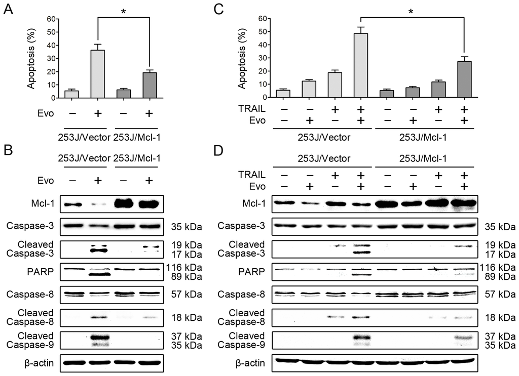 c-Myc overexpression leads to the induction of apoptosis