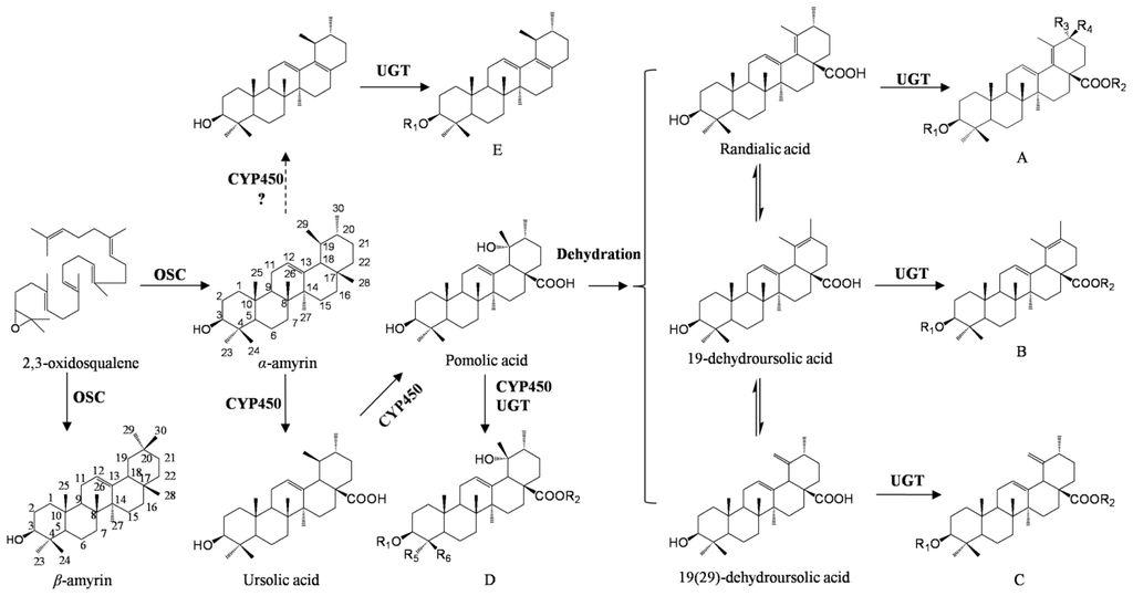 Biosynthesis of triterpenoids research paper on cellular technology