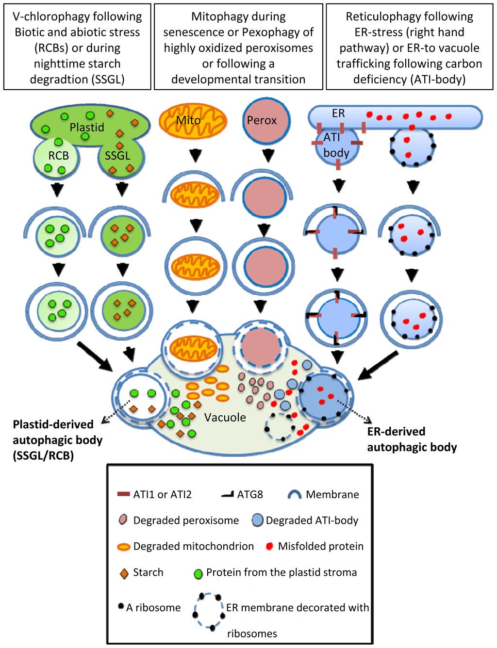 Plant Cell Peroxisome 98385 | VIZUALIZE
