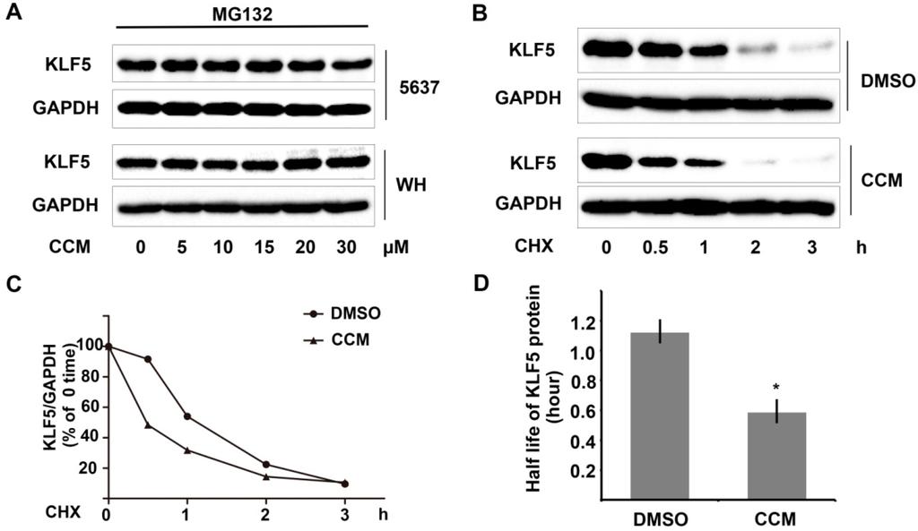IJMS | Free Full-Text | Curcumin Promotes KLF5 Proteasome Degradation through Downregulating YAP ...