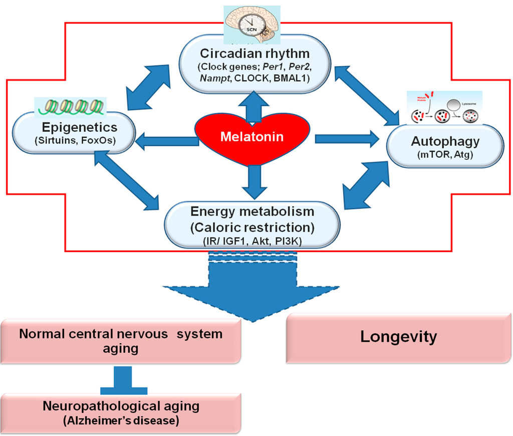 Ijms Free Full Text Melatonin Regulates Aging And