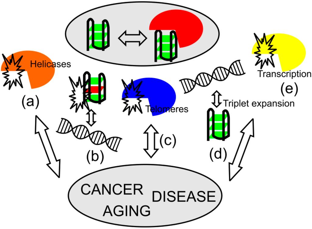 IJMS   Free Full-Text   DNA and RNA Quadruplex-Binding Proteins   HTML