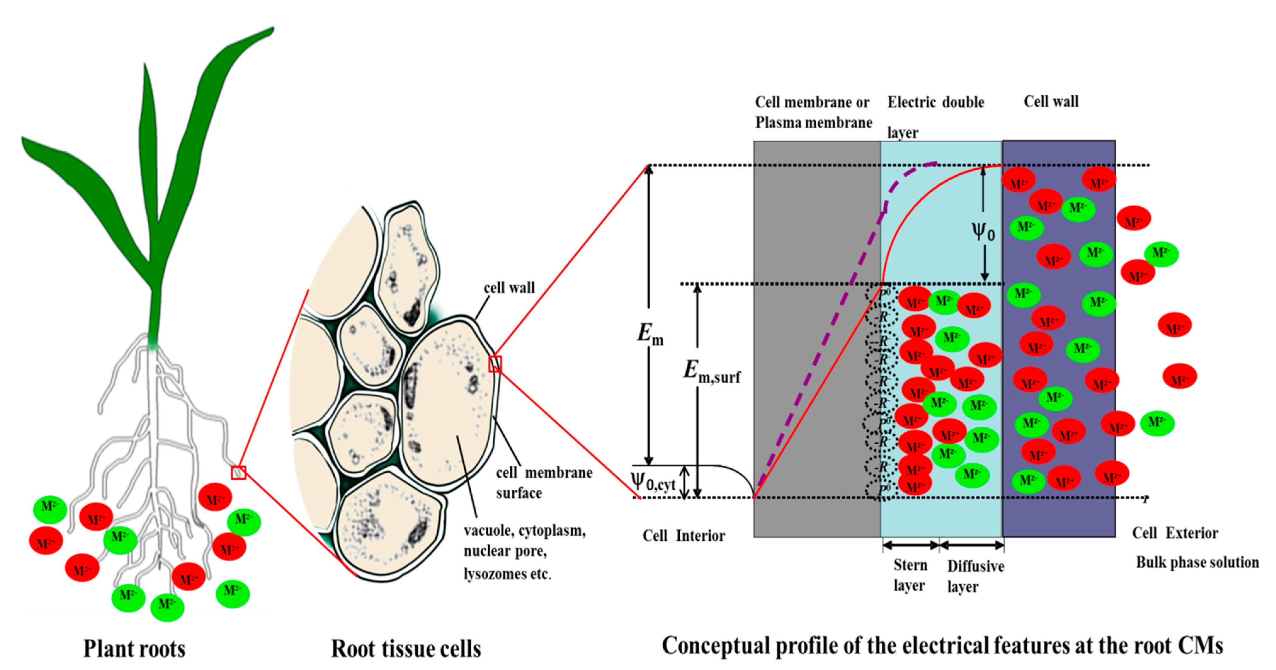 Ijms free full text surface electrical potentials of root cell no ccuart Choice Image
