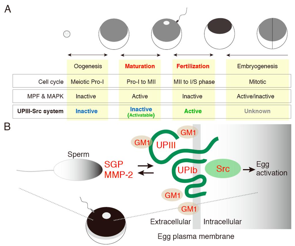 IJMS | Free Full-Text | Transmembrane Signal Transduction ...