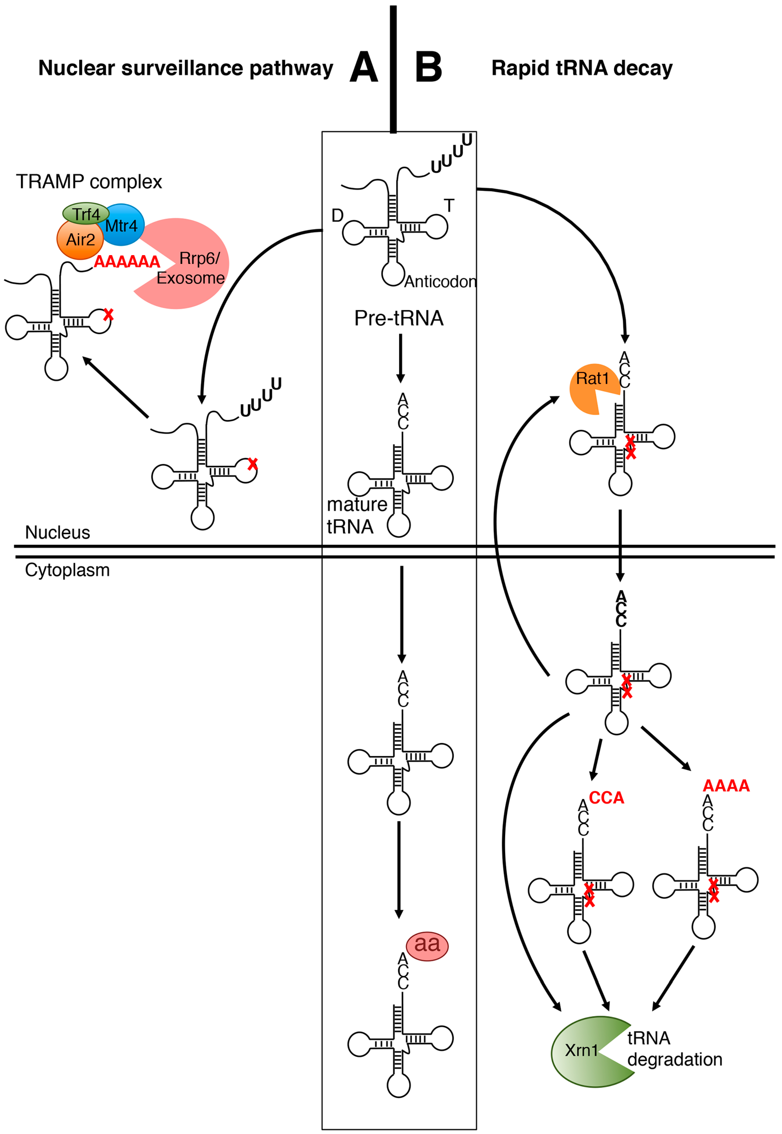 IJMS | Free Full-Text | Surveillance and Cleavage of Eukaryotic ...