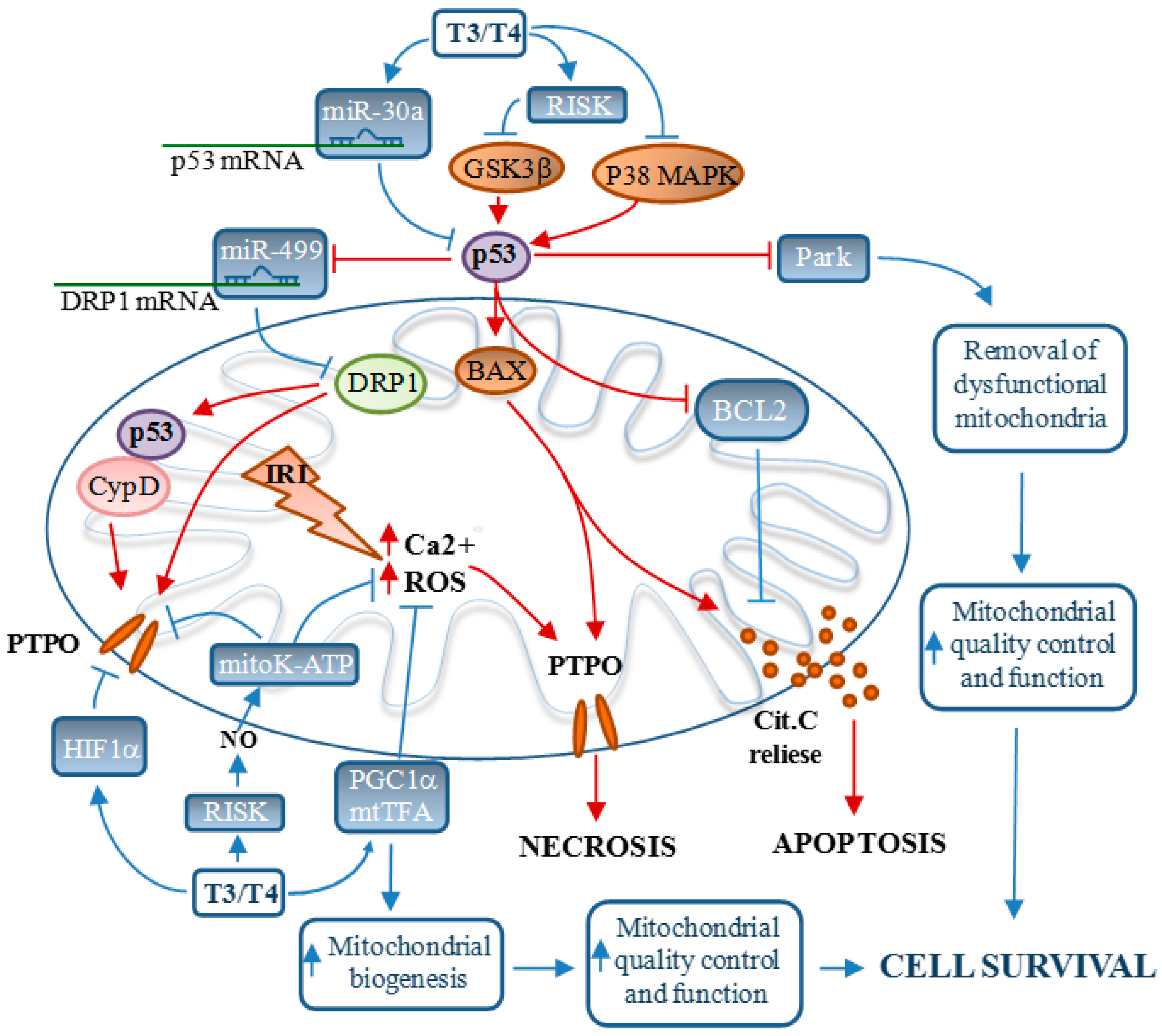 Ijms Free Full Text Mitochondria As Key Targets Of