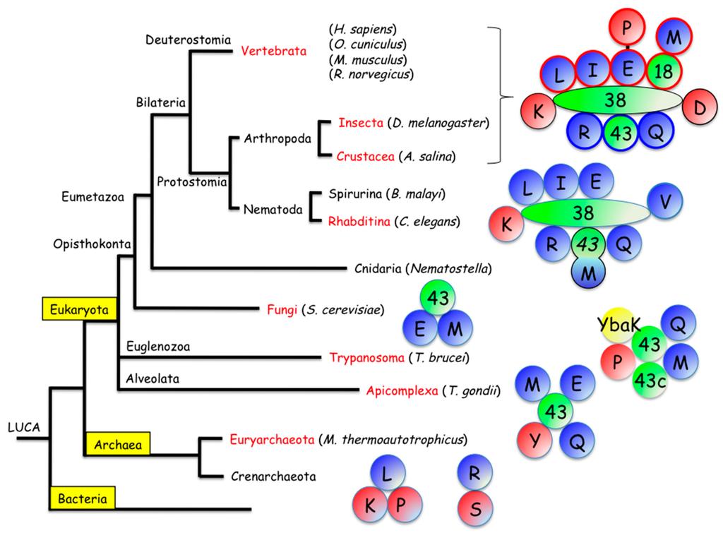 aminoacyl trna synthetase - photo #36