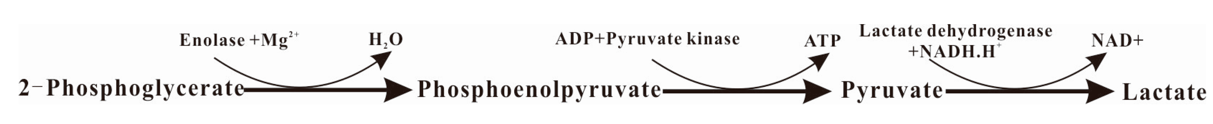 an analysis of the pyruvate kinase by coupling its reaction with lactate dehydrogenase Pyruvate kinase is the enzyme that catalyzes the final step of glycolysis it catalyzes the transfer  the tetrameric form is the pyruvate kinase structure in its r-state  there are two steps in the pyruvate kinase reaction in glycolysis first, pep  in glycolysis, the rate-affecting steps are coupled with the hydrolysis of atp or the.