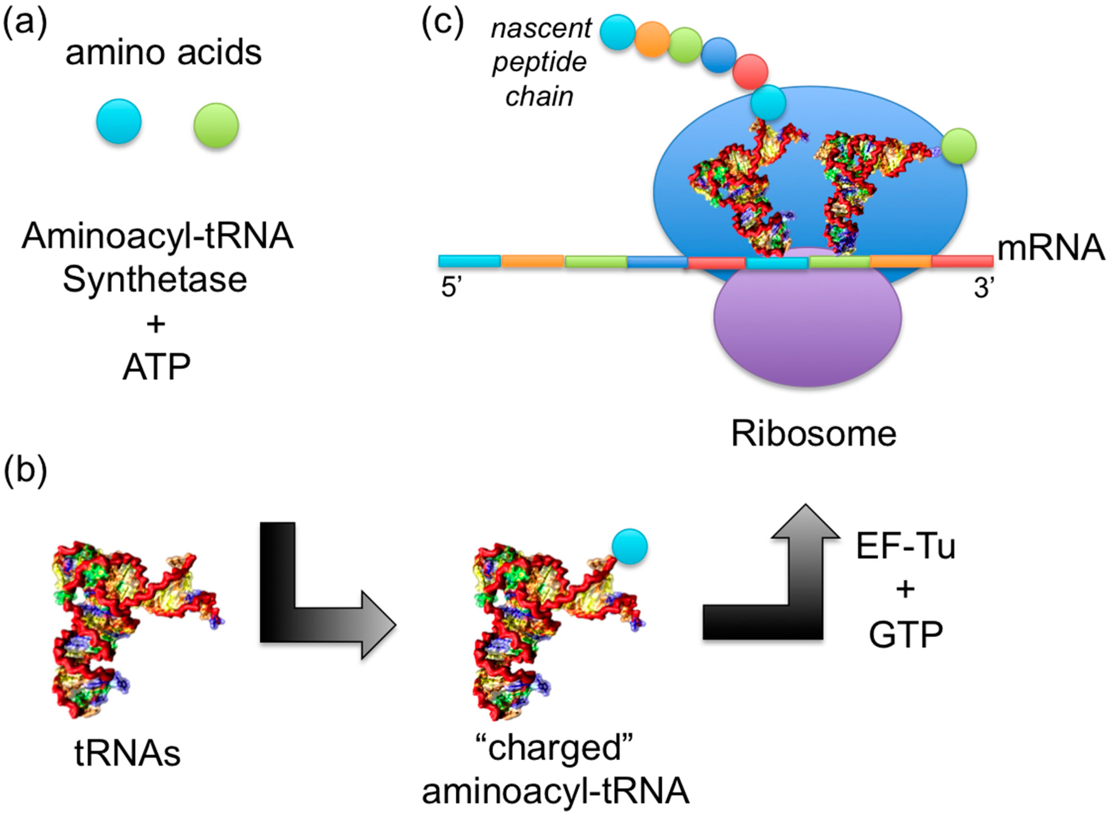 role of trna in protein synthesis