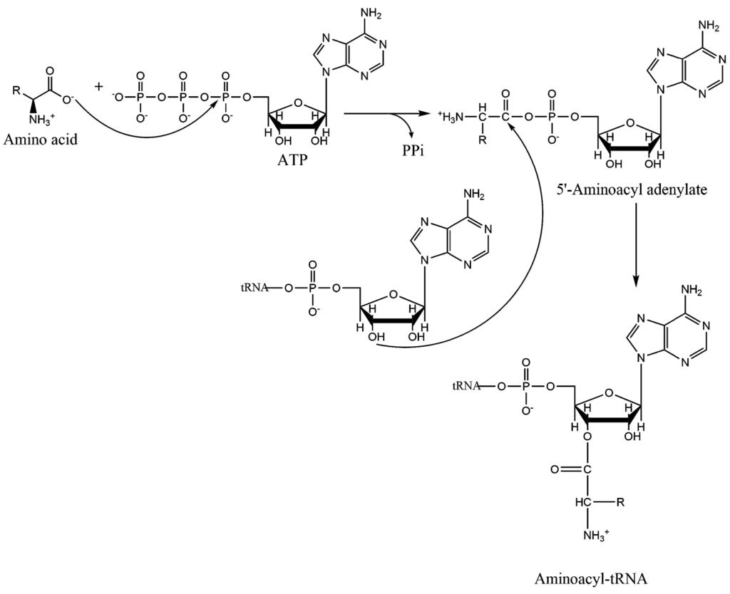 aminoacyl trna synthetase - photo #44