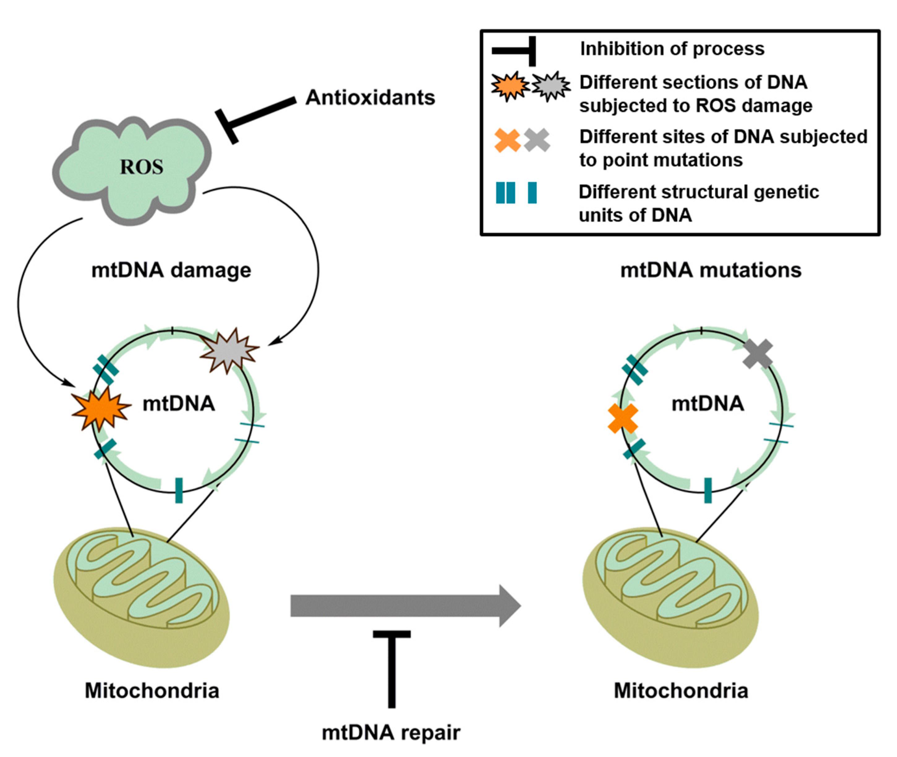 Ijms free full text mitochondrial oxidative stress no ccuart Choice Image
