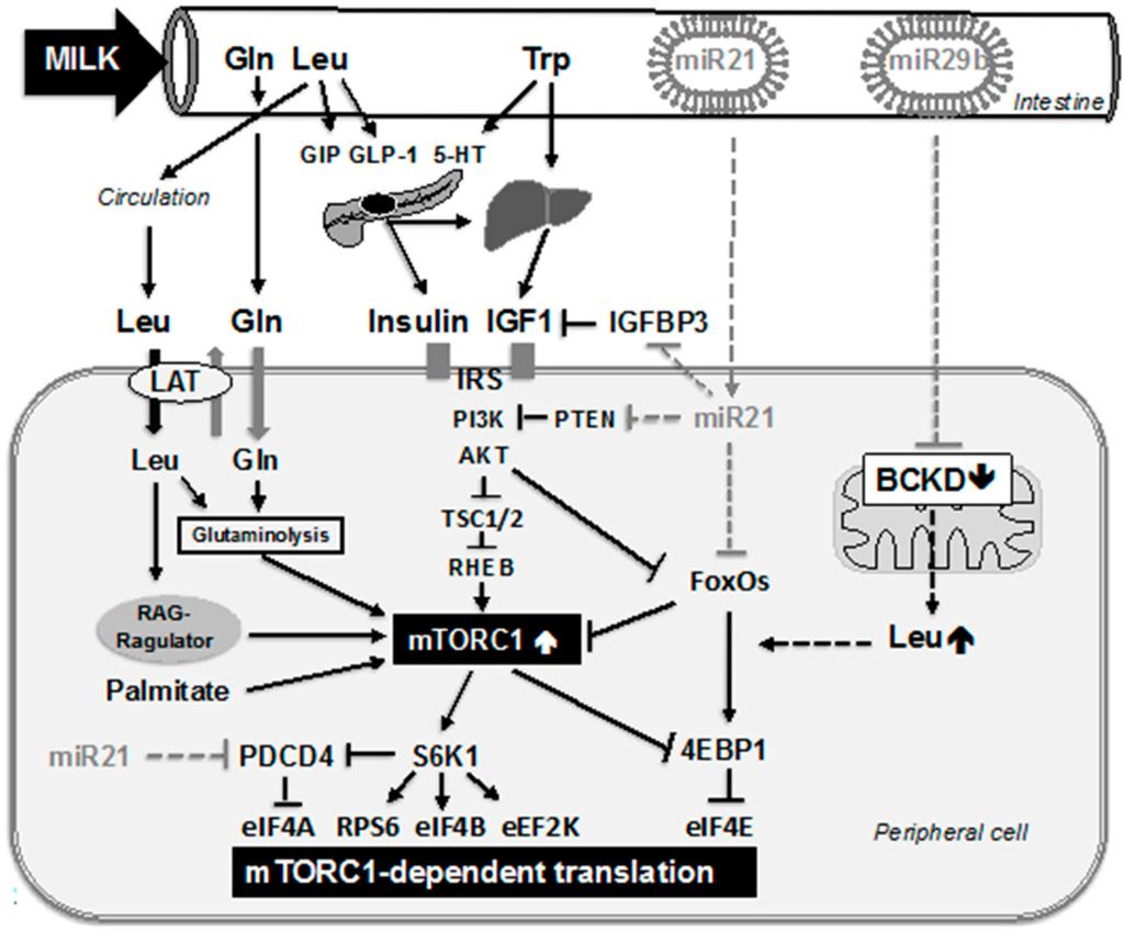 Ijms Free Full Text Milka Nutrient System Of Mammalian Cat 6 568c Wiring Diagram 16 17048 G002 1024