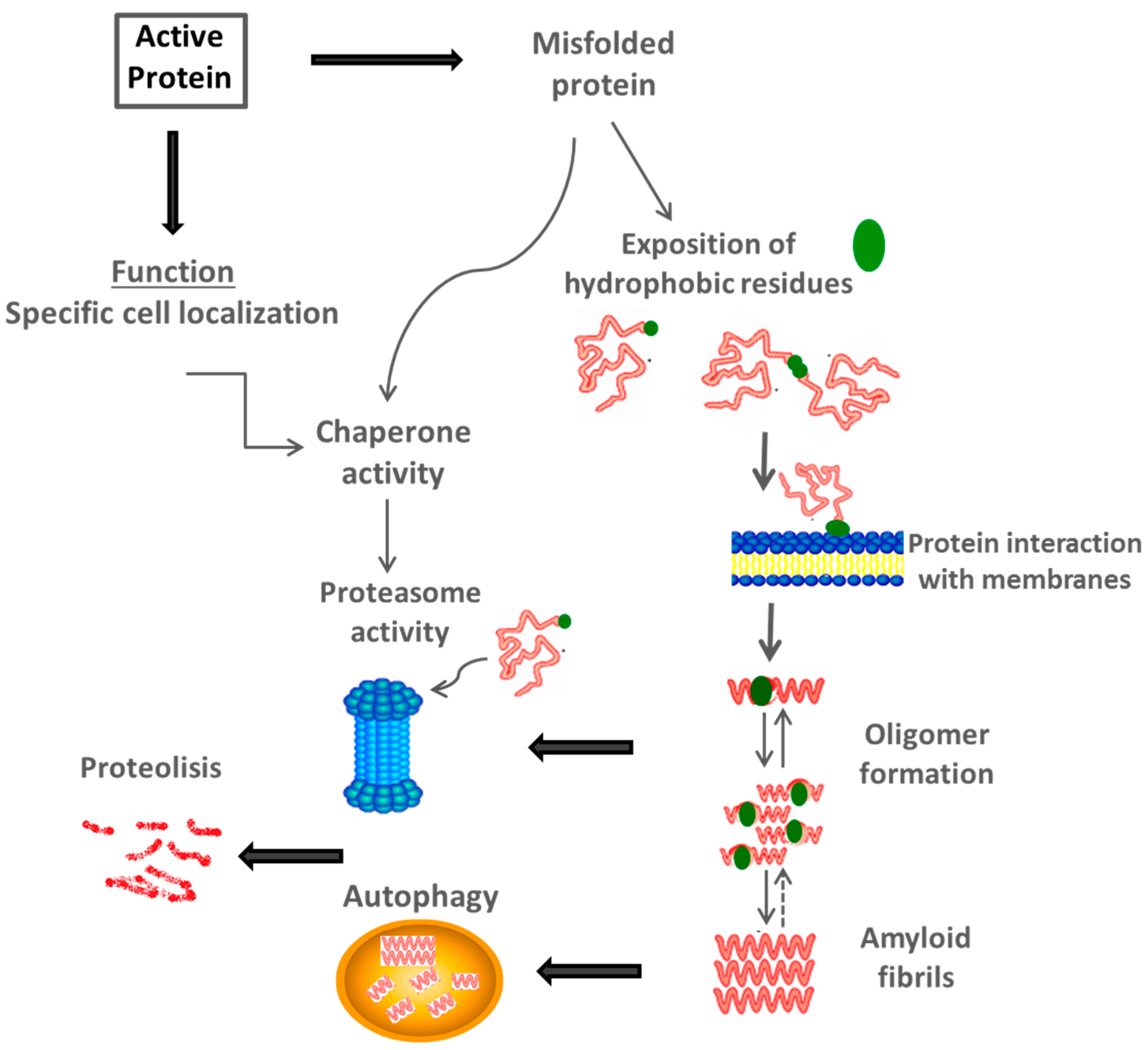 Ijms Free Full Text Protein Folding And Mechanisms Of Ka Fuse Box Location 16 17193 G002 1024