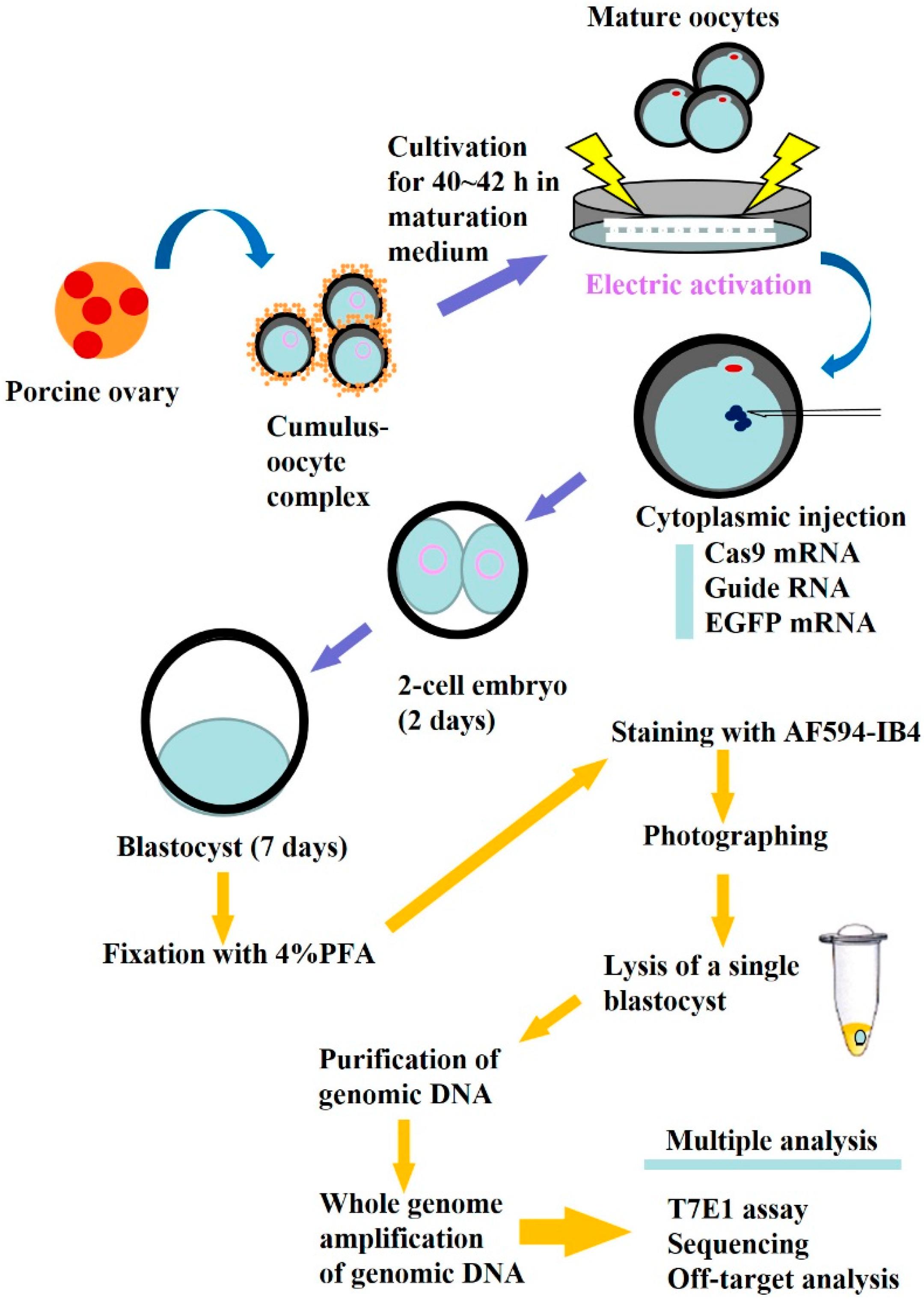 zebrafish embryo injection