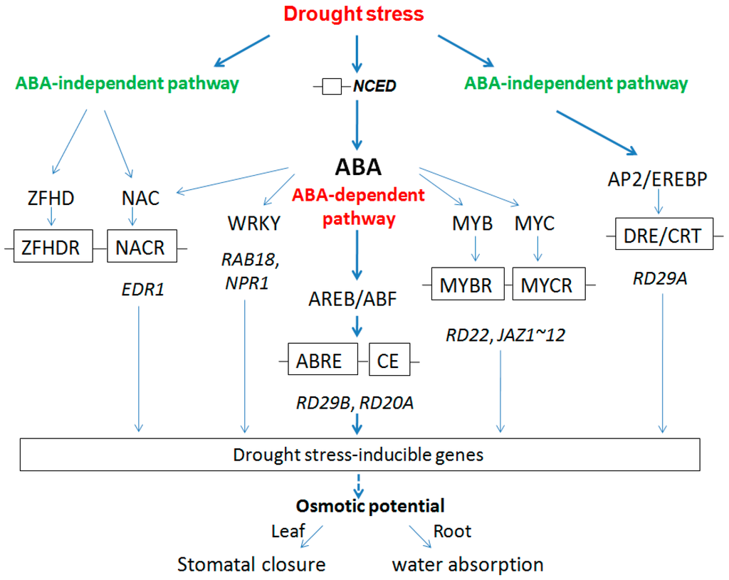 brassinosteroid biosynthesis and inactivation