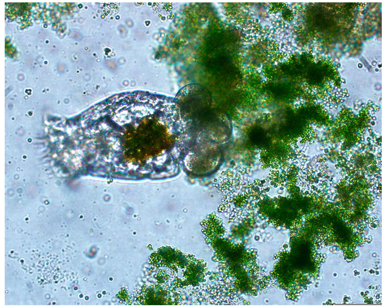 Brachionus Calyciflorus