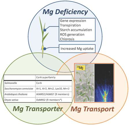 Ijms Free Full Text Critical Issues In The Study Of Magnesium Transport Systems And Magnesium Deficiency Symptoms In Plants Html