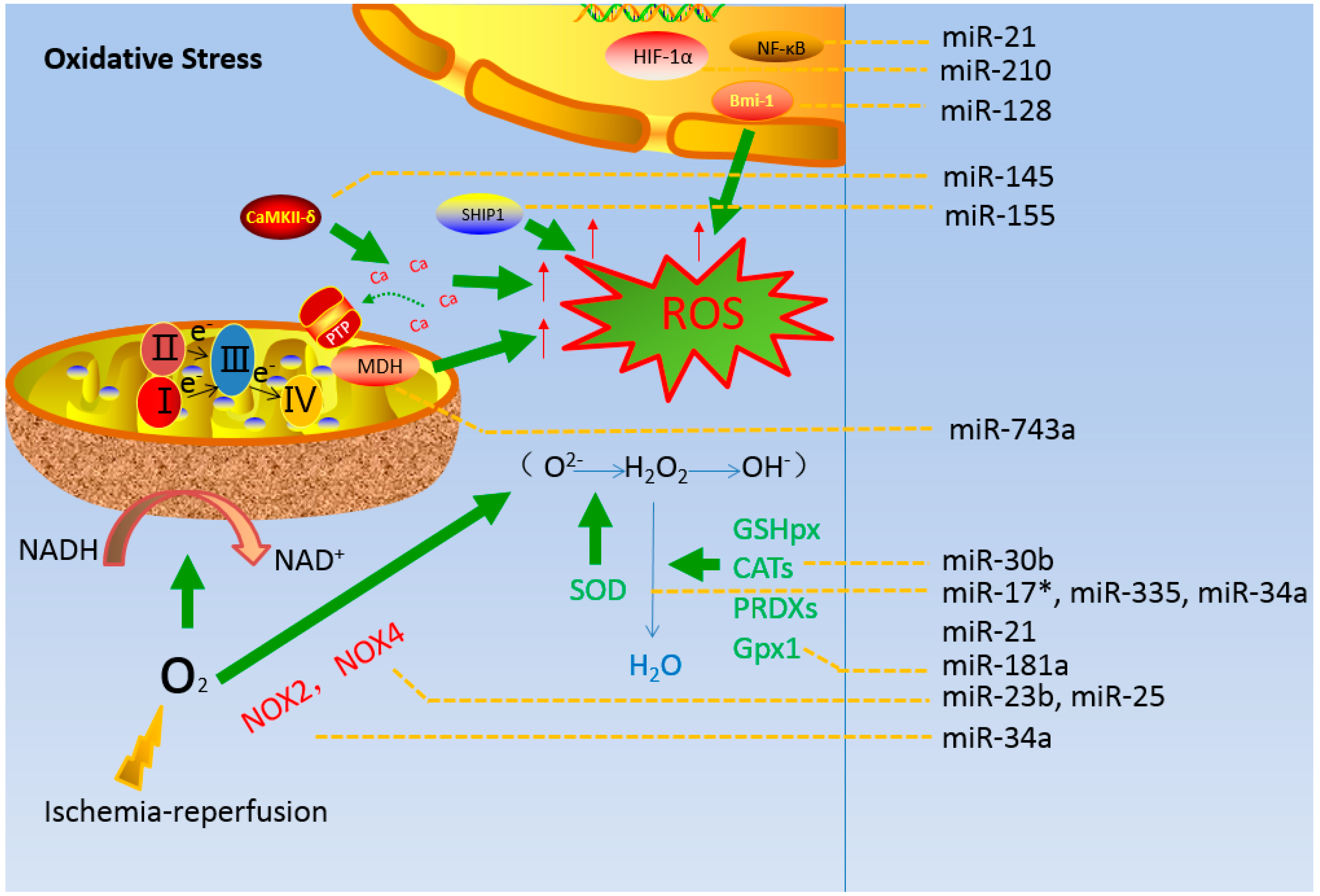 IJMS   Free Full-Text   MicroRNAs Regulate Mitochondrial ... Traditional Chinese Medicine
