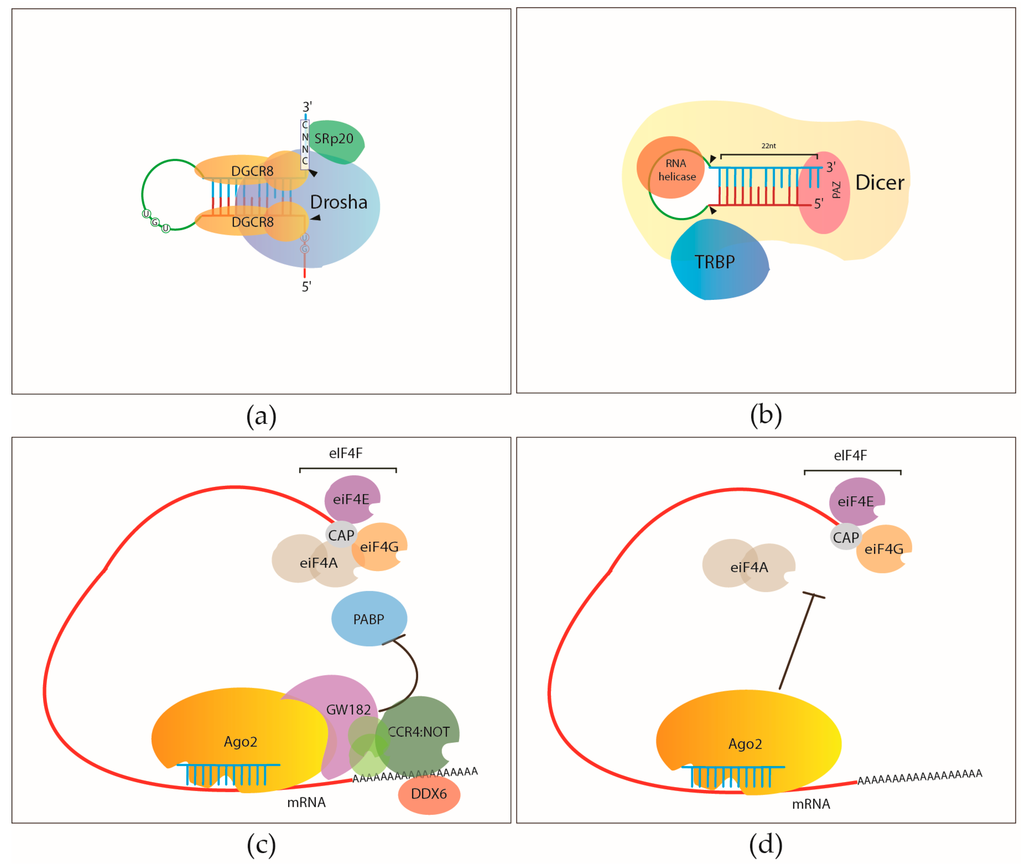 RNA Binding Proteins In The MiRNA