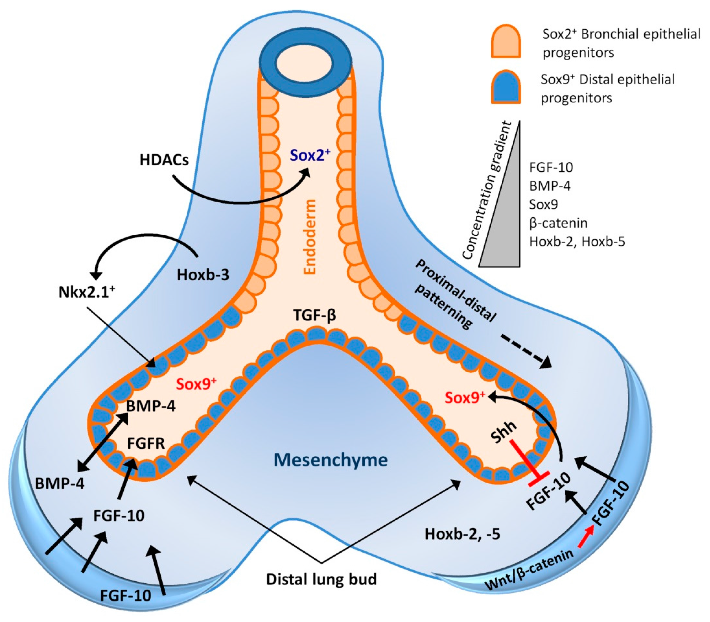 Ijms Free Full Text Lung Regeneration Endogenous And