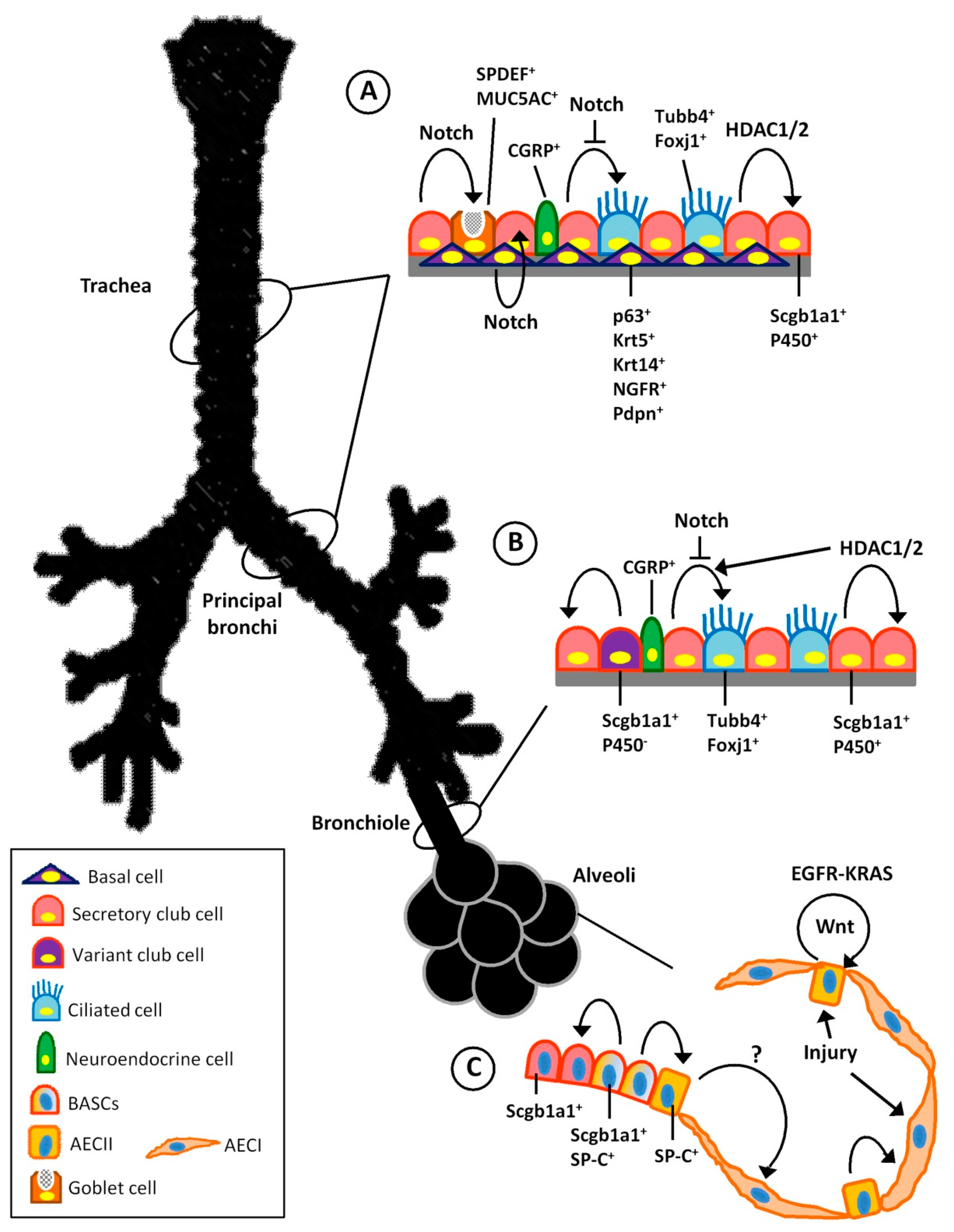 IJMS | Free Full-Text | Lung Regeneration: Endogenous and