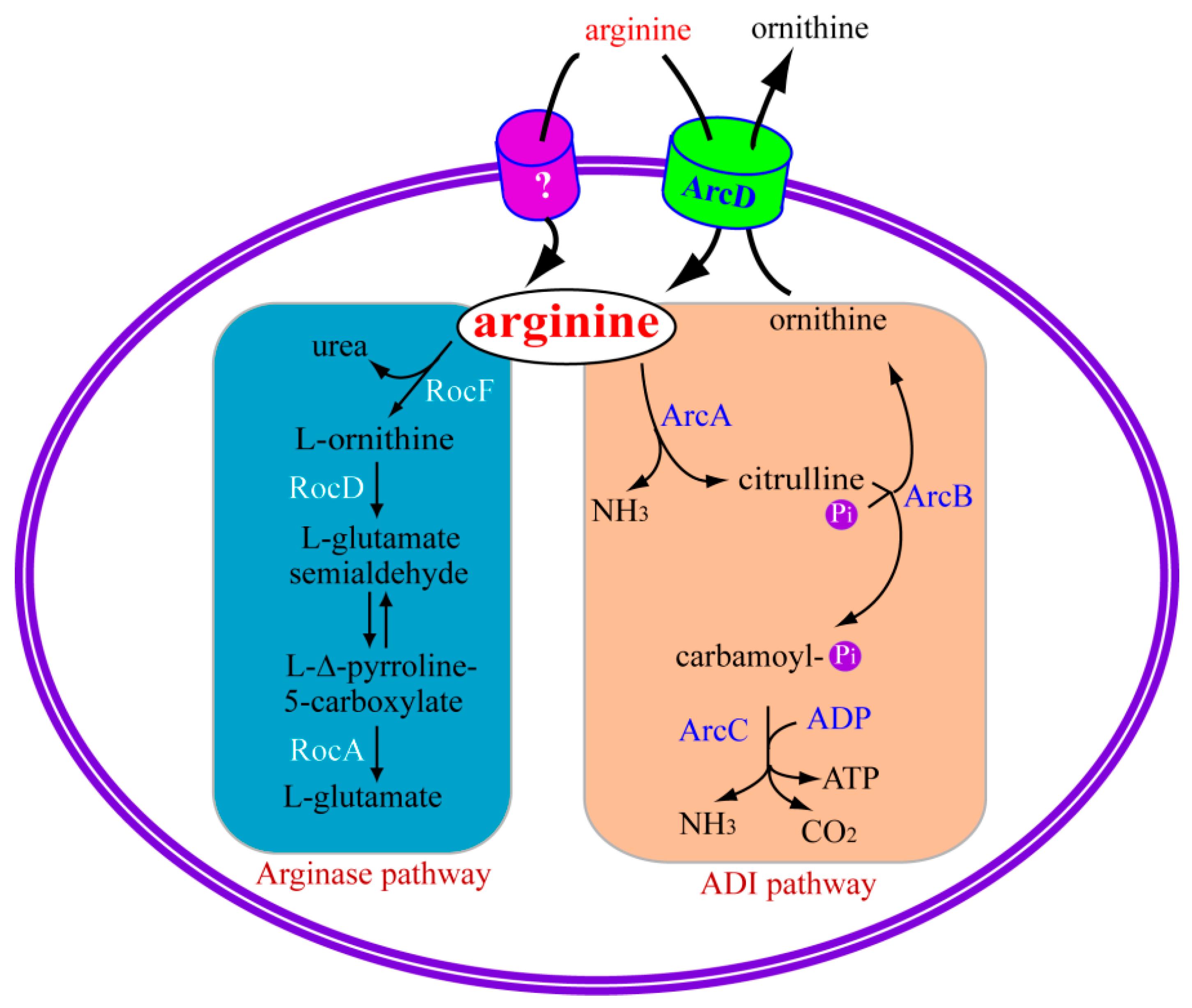 IJMS | Free Full-Text | Arginine Metabolism in Bacterial ...