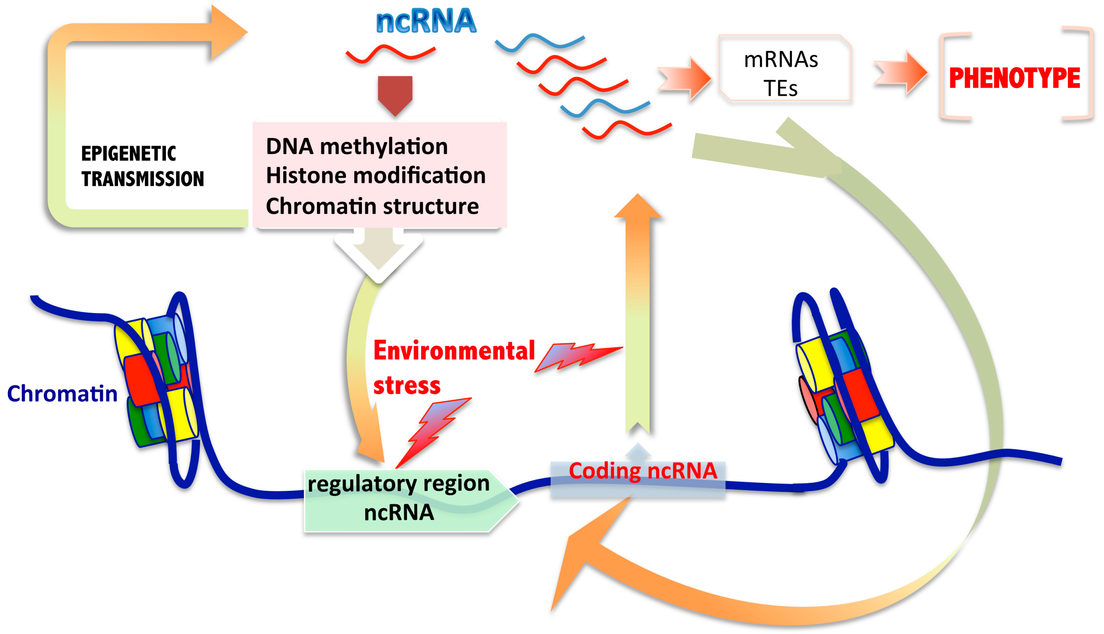 Transgenerational Epigenetic >> Ijms Free Full Text Role Of Non Coding Rnas In The
