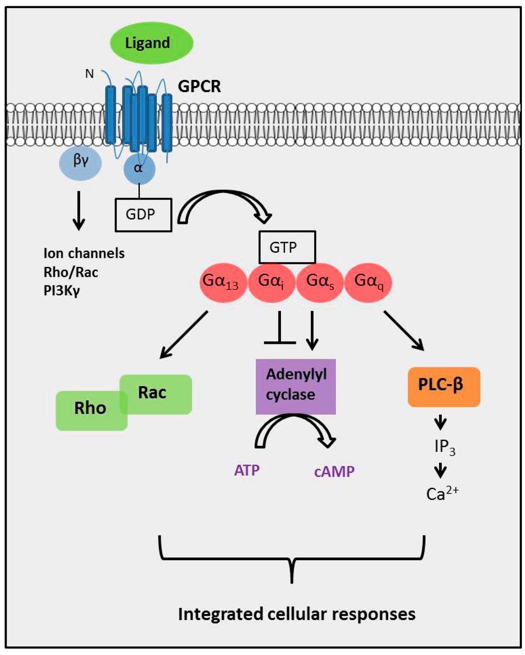 essays in g protein coupled receptors Vertebrate bitter taste receptors: keys for survival in changing environments g protein-coupled receptors view.