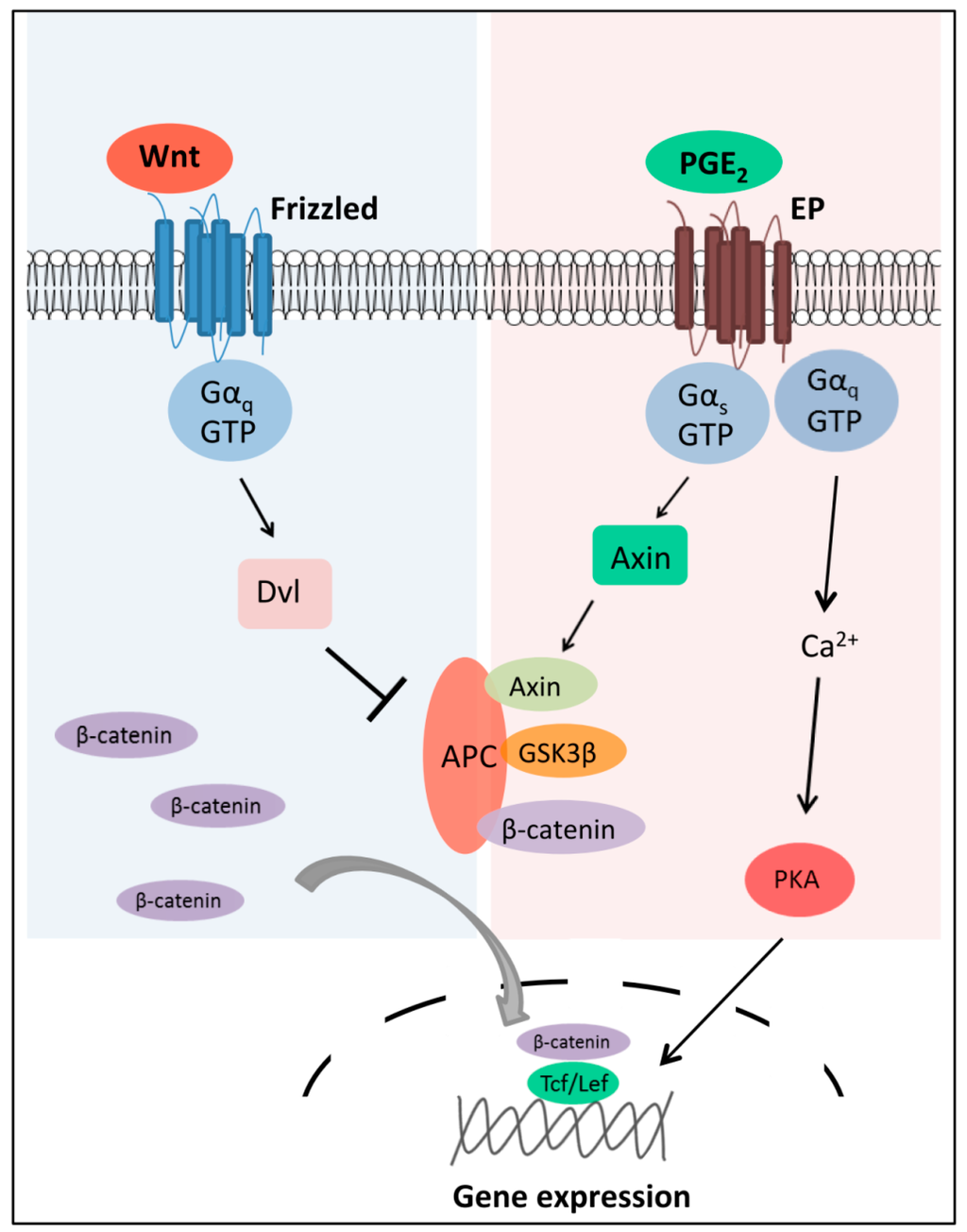 IJMS | Topical Collection : G Protein-Coupled Receptor ... Map Kinase Pathway Usmle on phosphatidylinositol 3-kinase pathway, insulin pathway, jak 1 2 3 signaling pathway, pi 3-kinase pathway, adenylate cyclase pathway, il-6 signaling pathway, thyroid pathway,