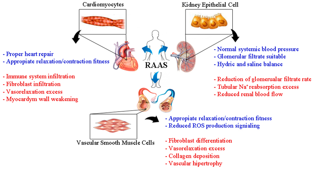 Ijms Free Full Text Role Of The Renin Angiotensin