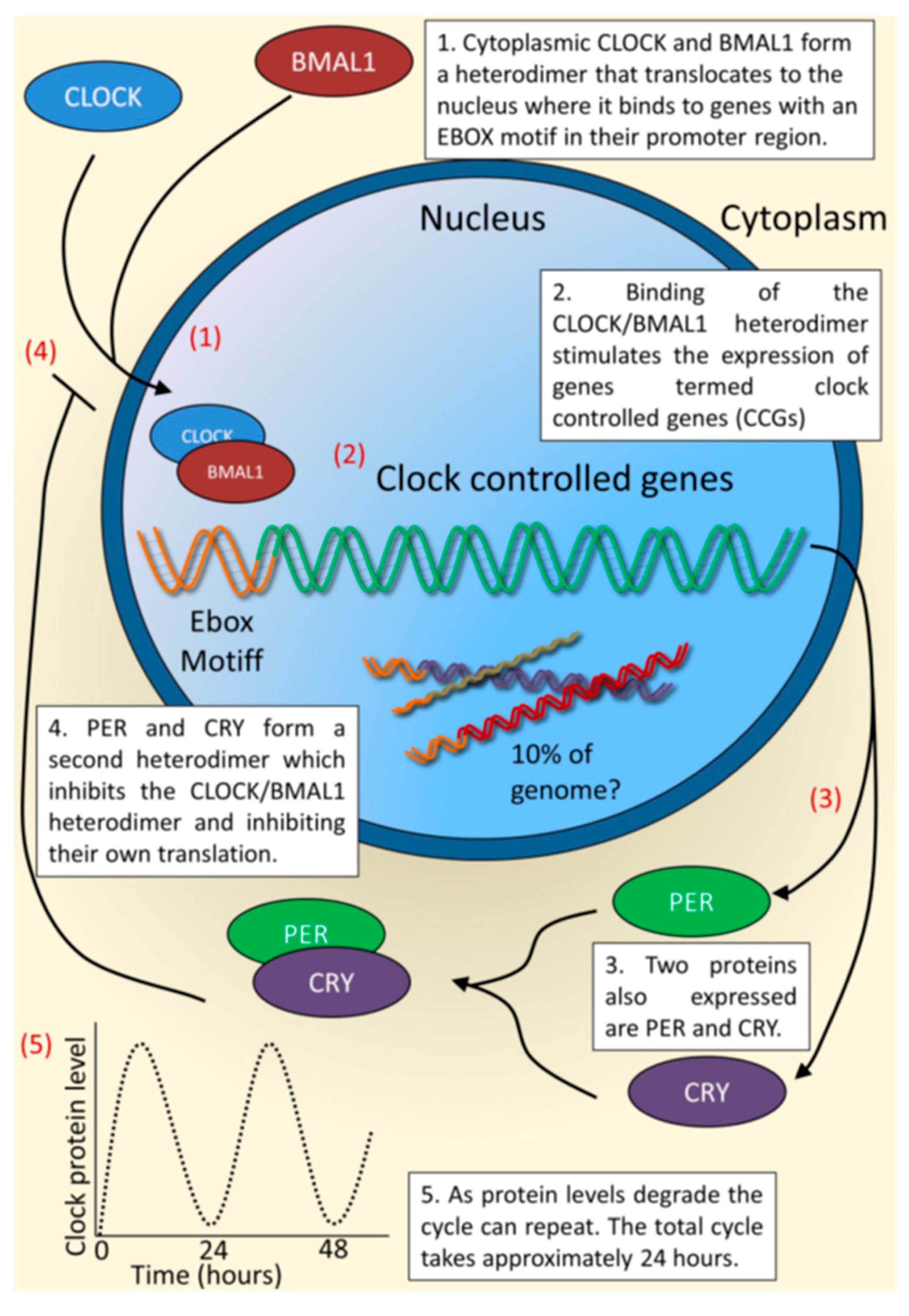 Molecular Genetics of Biological Rhythms