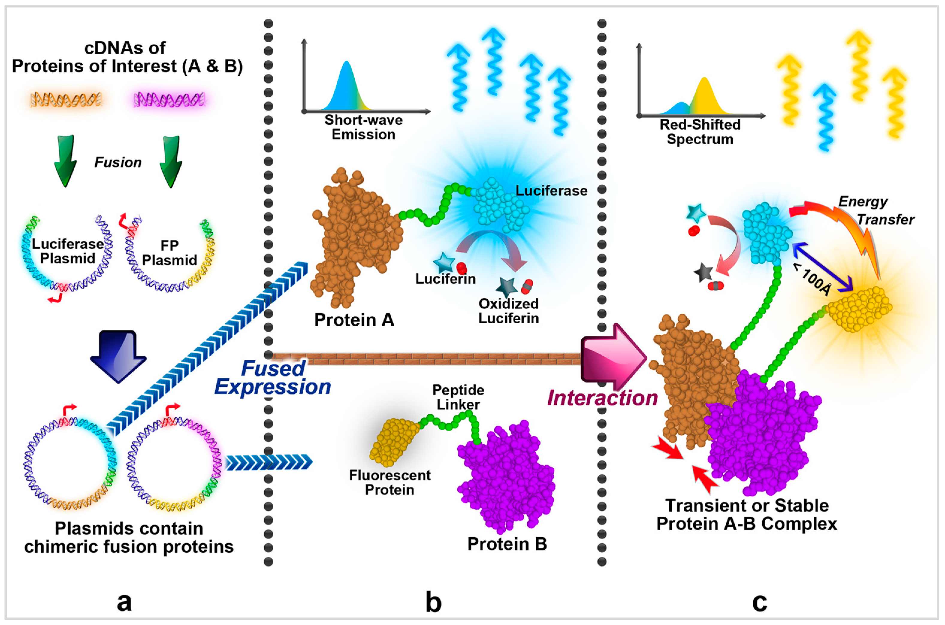 Ijms Free Full Text In Vivo Analysis Of Protein