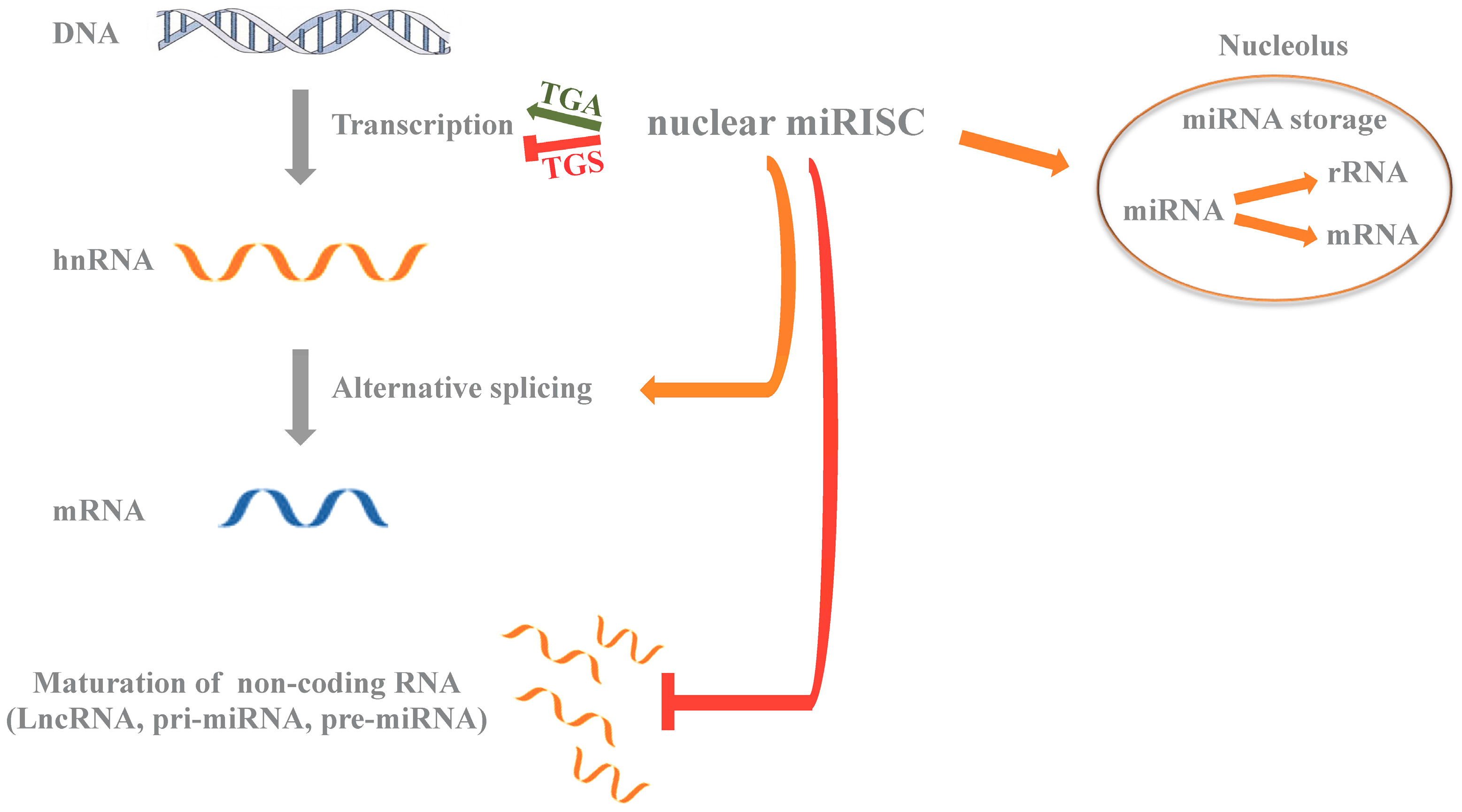 mirna function Are there major differences between small interfering rna (sirna) and micro rna (mirna) learn where they overlap and how they function before you can understand the.