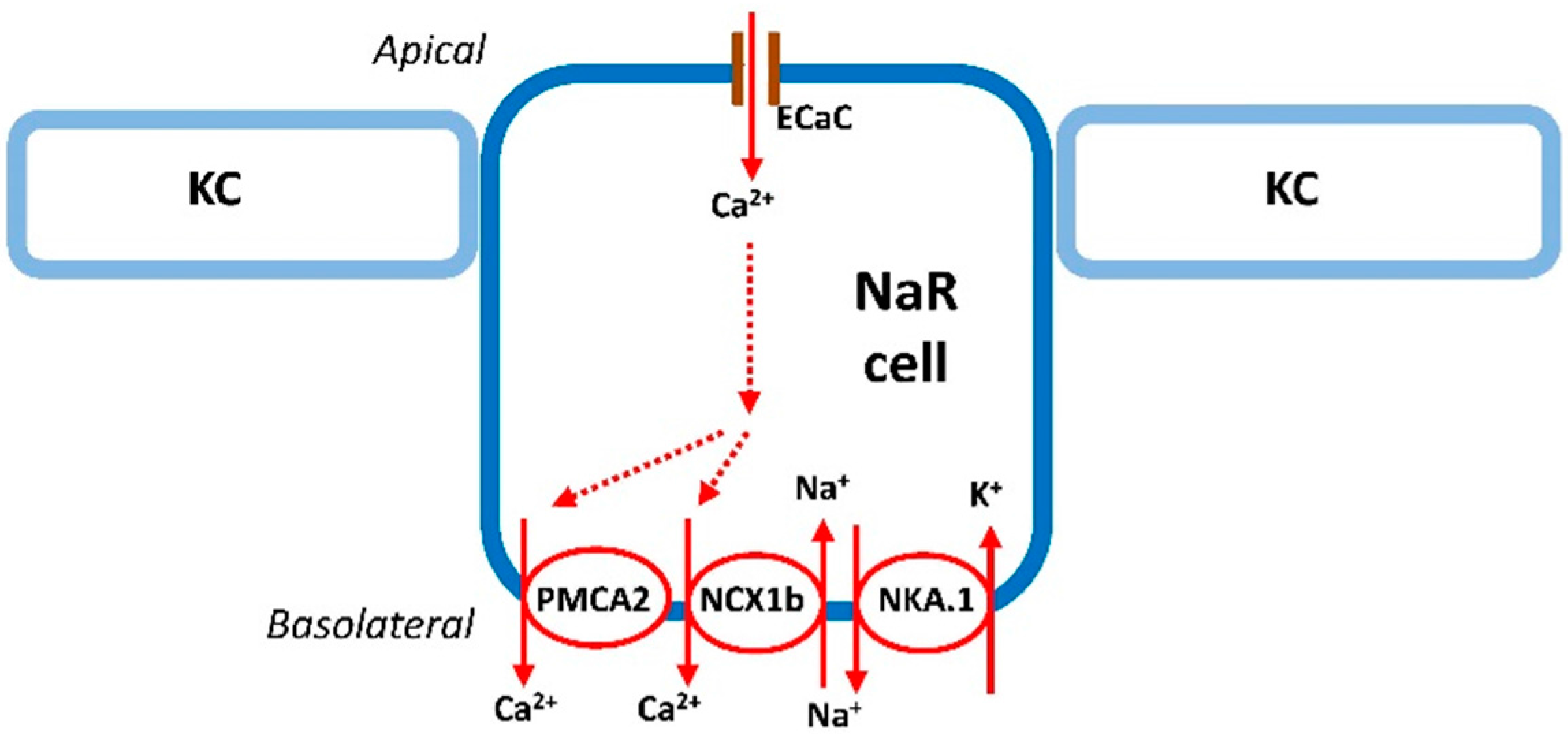 ijms   free full-text   the control of calcium metabolism in
