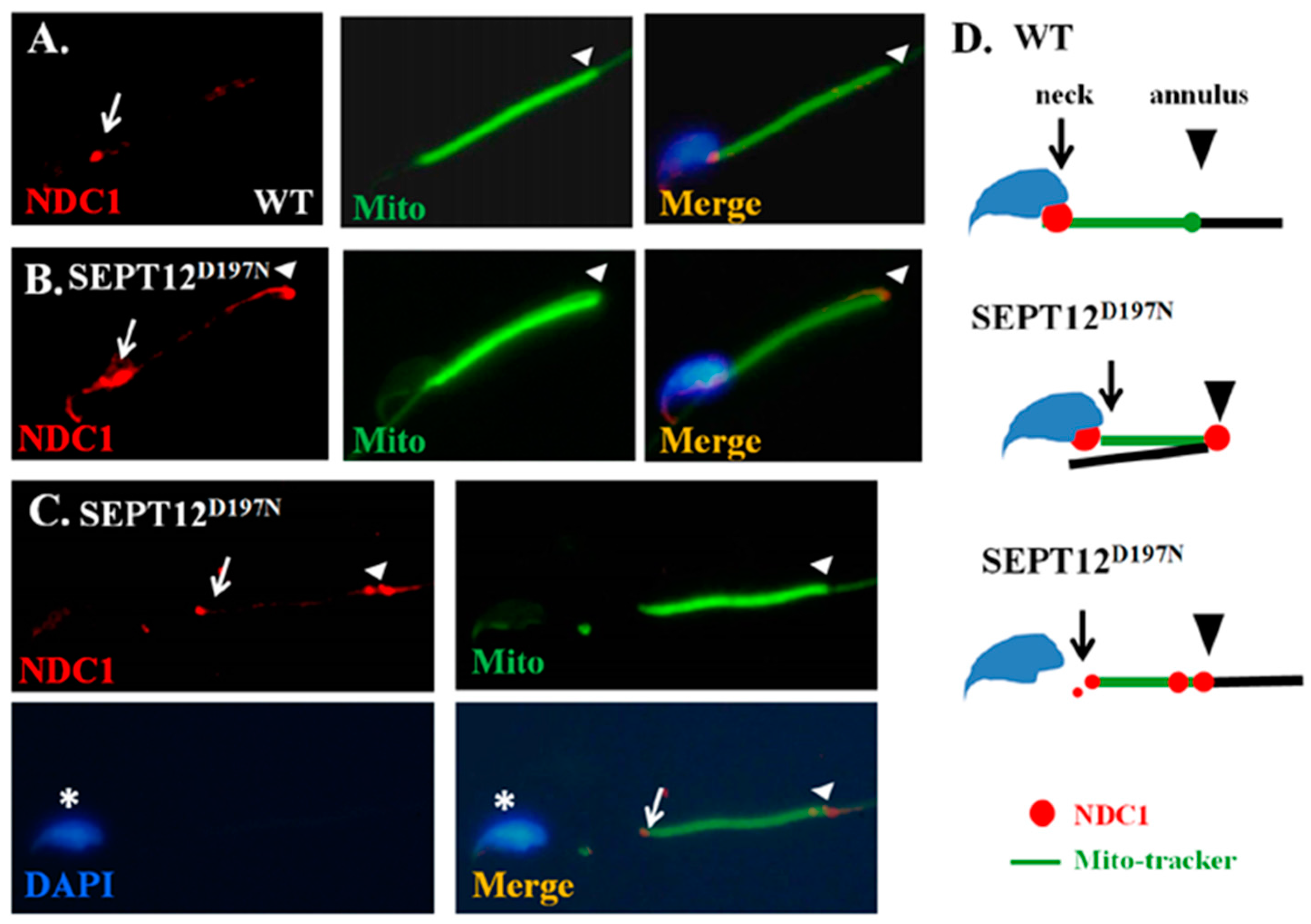 sperm to Magnification requirement see