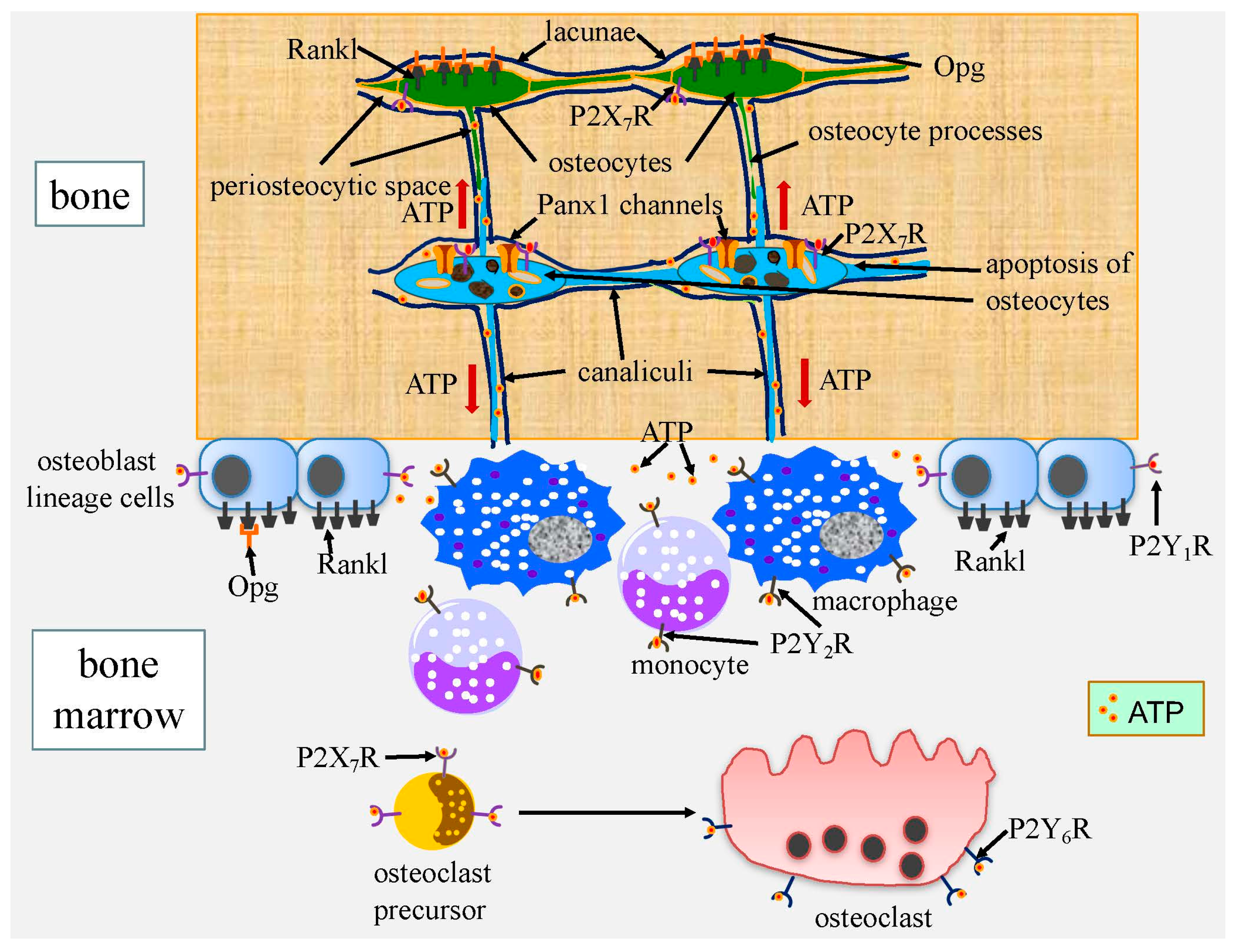 IJMS | Free Full-Text | Cell Death in Chondrocytes