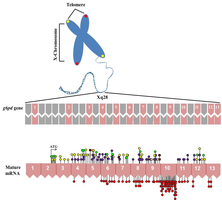 mutations abstract Mutations in the mitochondrial genome have been identified to be associated with hearing loss the aim of the present study was to investigate the role of mitochondrial dna (mtdna) variants in a chinese family with hearing loss.