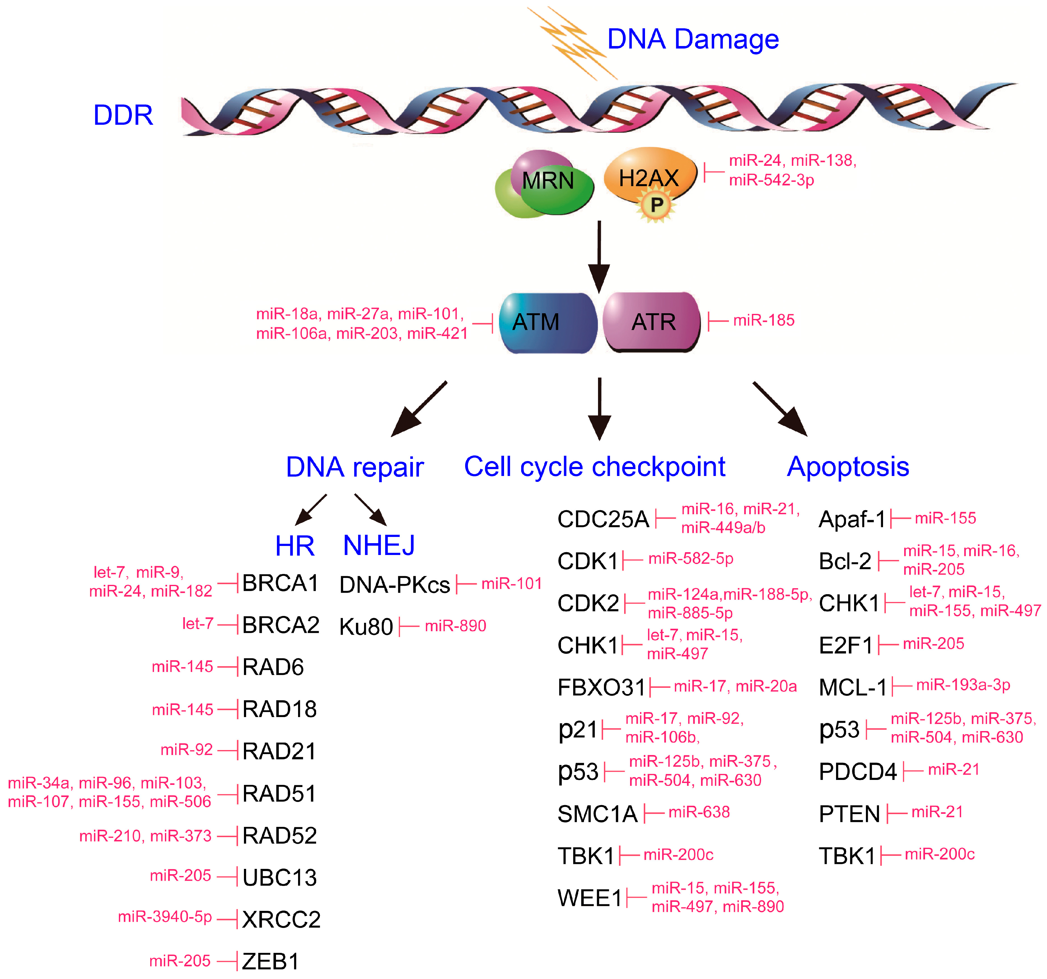 Ijms Free Full Text Micrornas Dna Damage Response And Cancer 138v 20a Stabilized Regulator By 79122n3055 17 02087 G001
